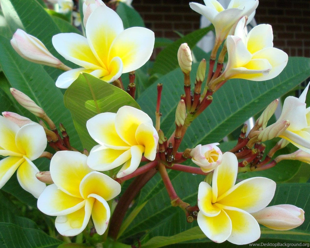Beautiful Yellow White Tropical Flowers Hd Wallpaper Get It