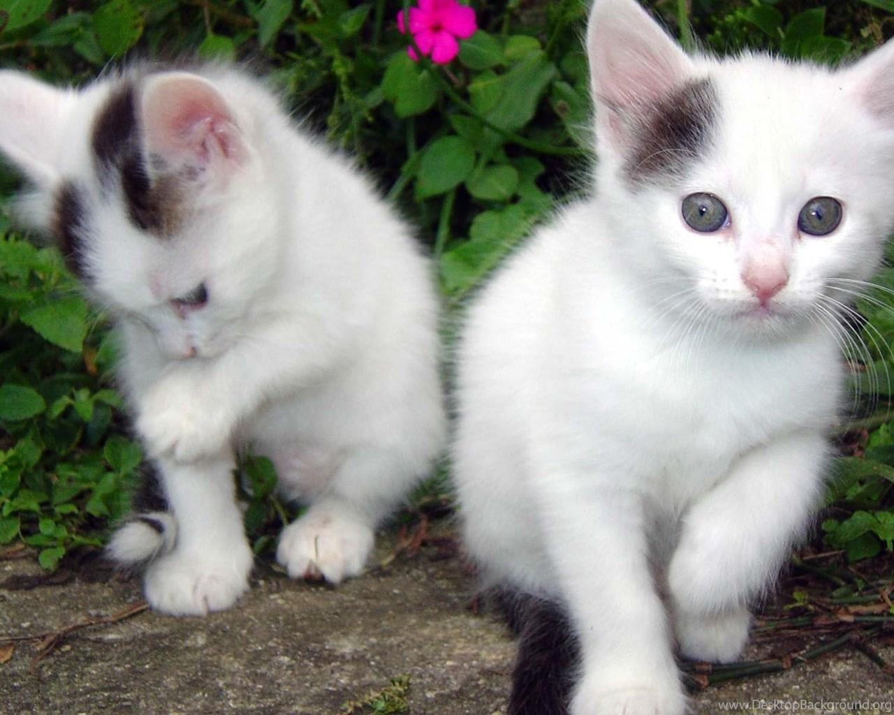 Cute White Baby Cats Wallpaper Jpg M 1390822827 Desktop Background