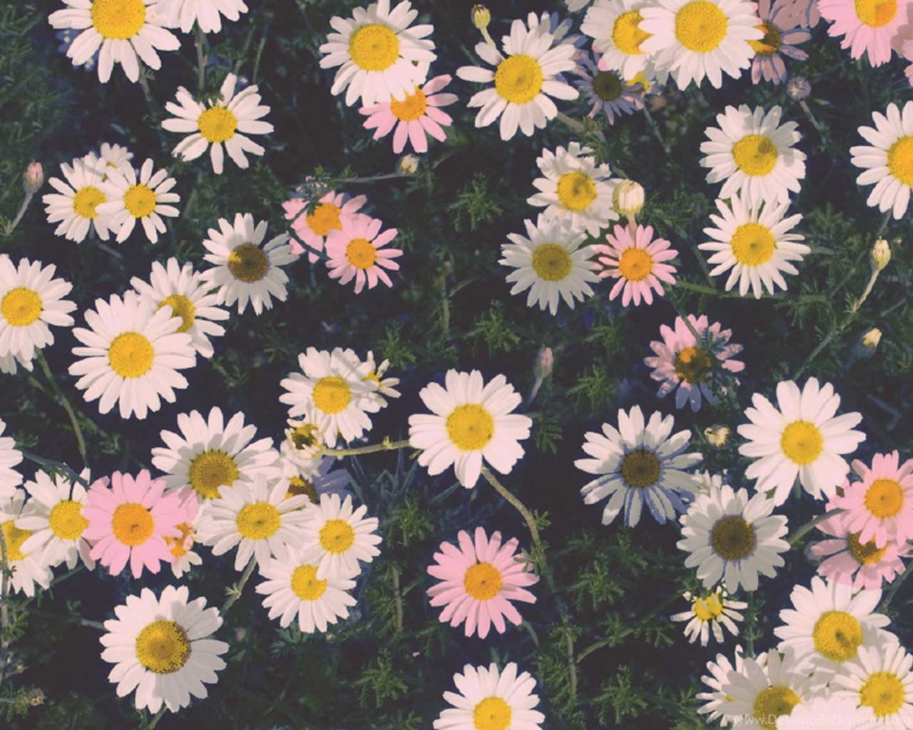 daisy wallpapers for iphone desktop background
