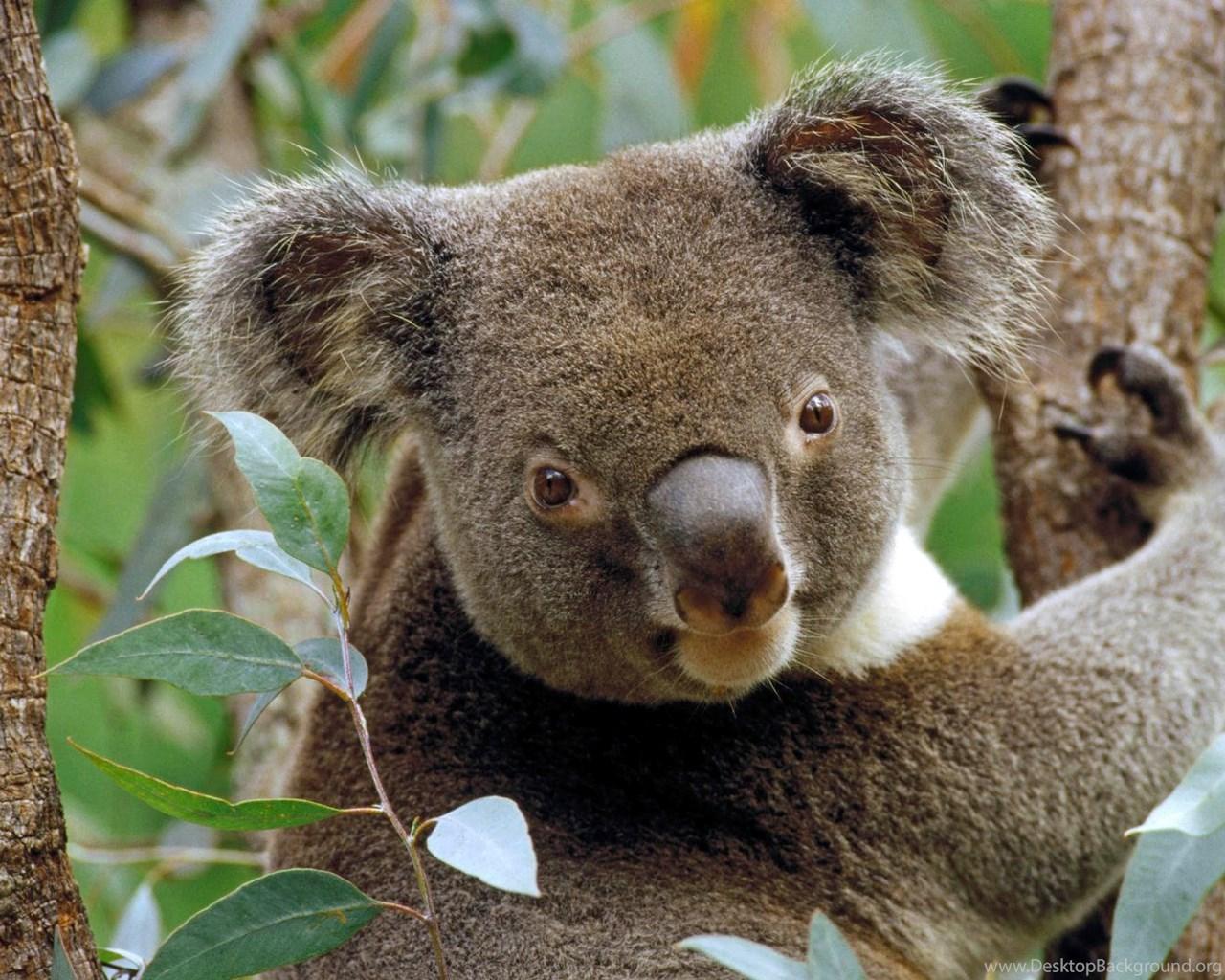 775869 download backgrounds koala in eucalyptus tree australia