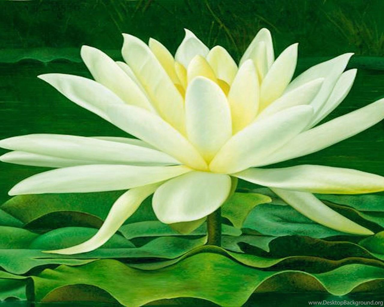Magical Beauty Of Lotus Flower Wallpapers Free Wall Paper Desktop