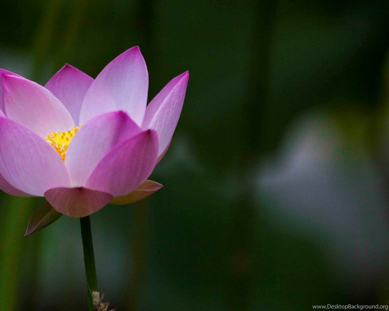 Beautiful lotus flowers wallpapers 89 lotus flower pictures widescreen izmirmasajfo