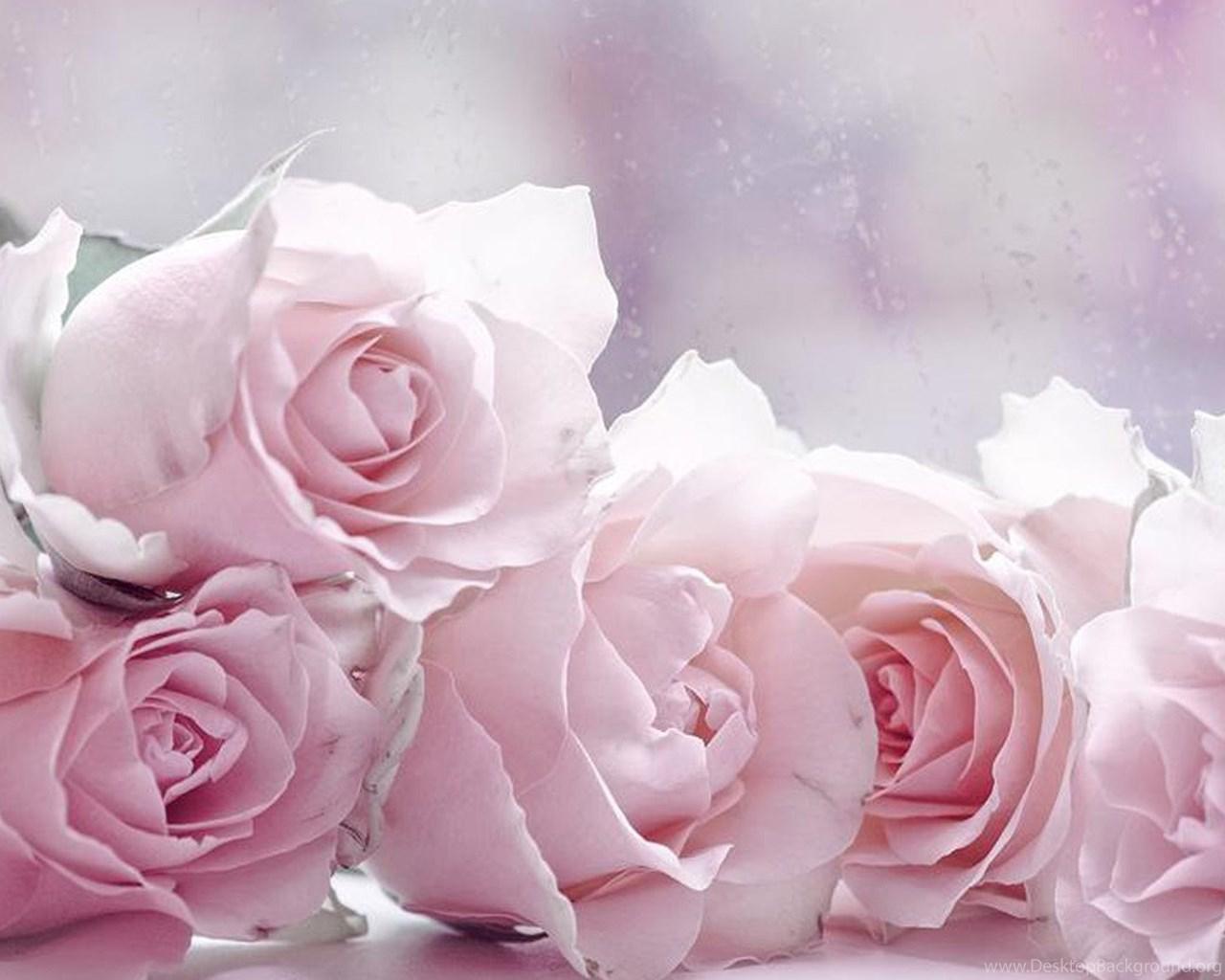 The Four Pastel Roses Wallpapers Rose Flower Images Rose Desktop Background