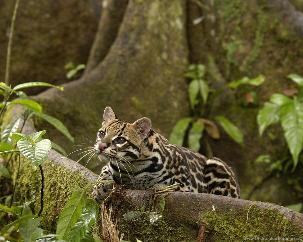 Animals Amazon Rainforest Ocelots Ecuador Wallpapers Desktop Background