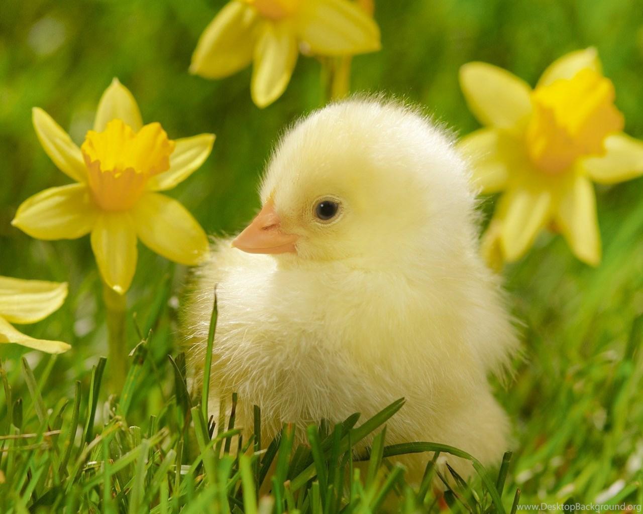 spring daffodils wallpapers the irish fairy door company desktop