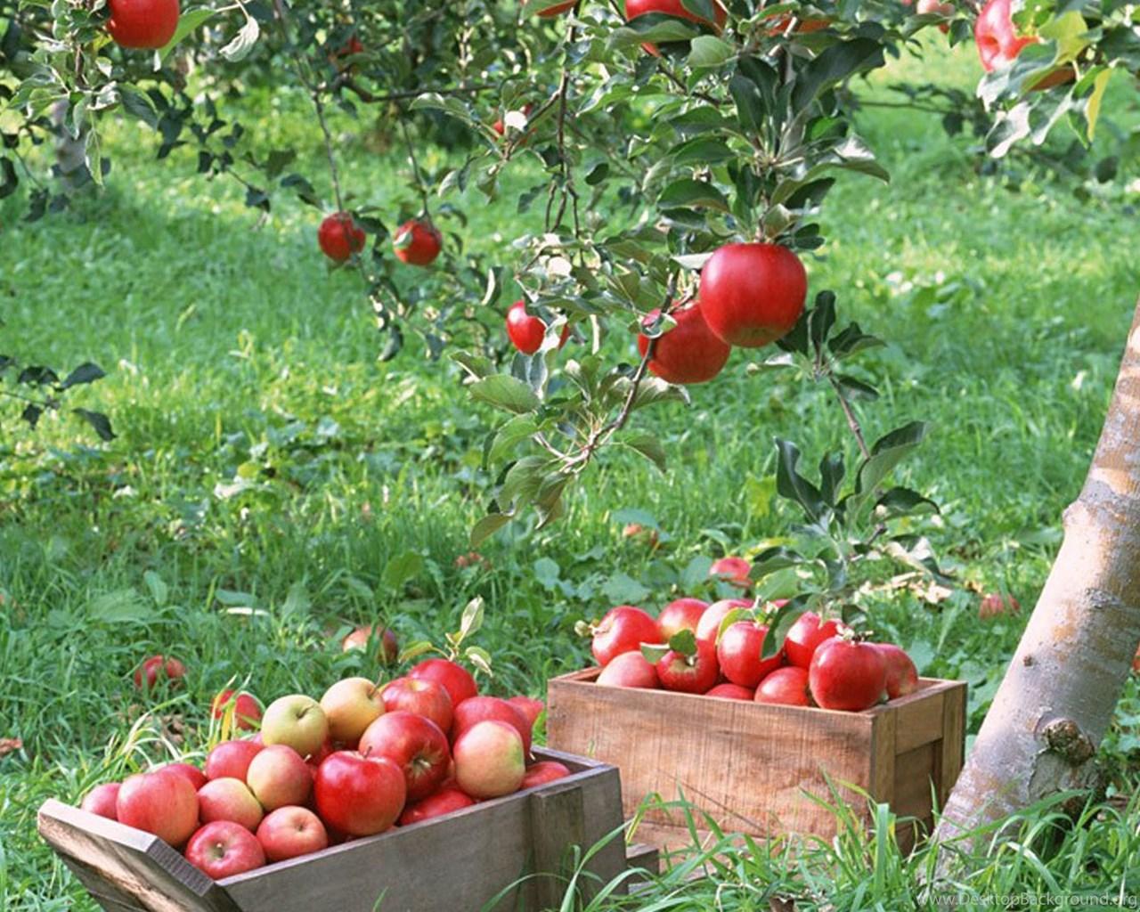 891861 apple tree hd