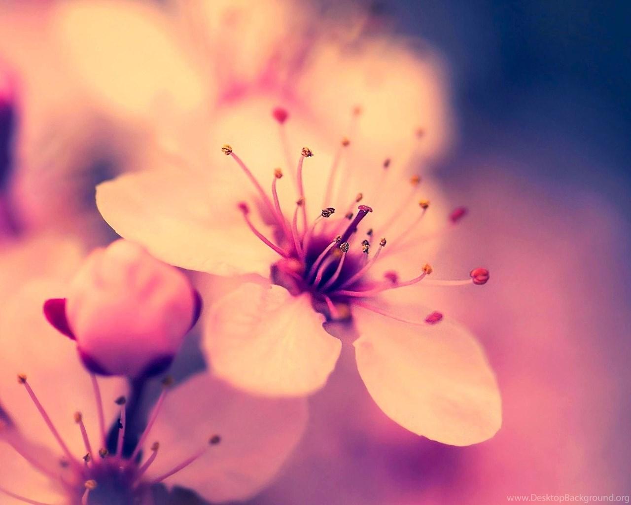 sakura flower wallpapers wallpapers cave desktop background