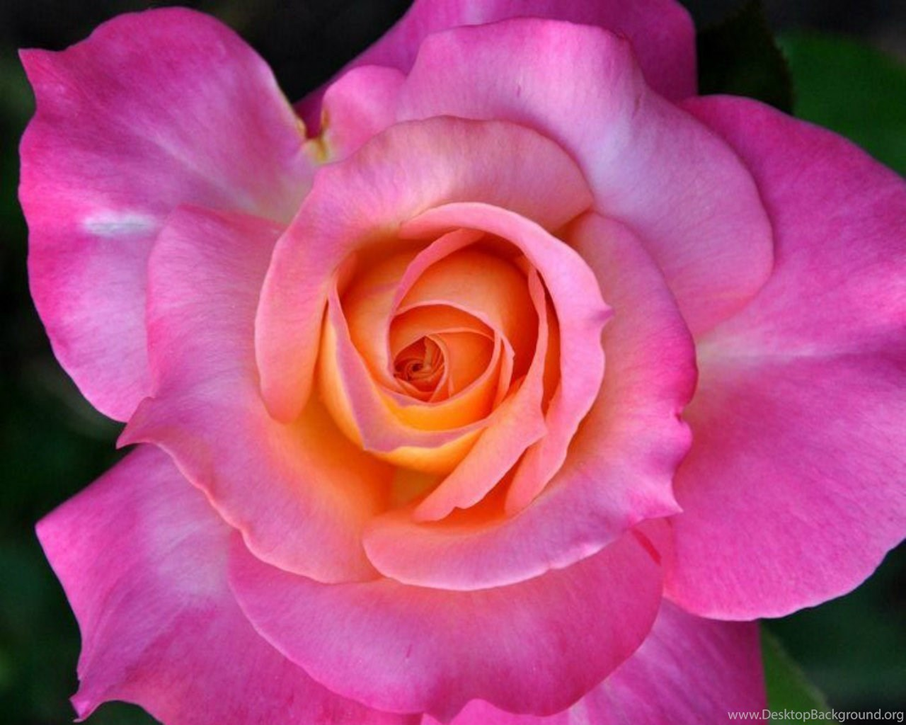 Flowers Beautiful Rose Pink Nature Flower Wallpapers Gallery For