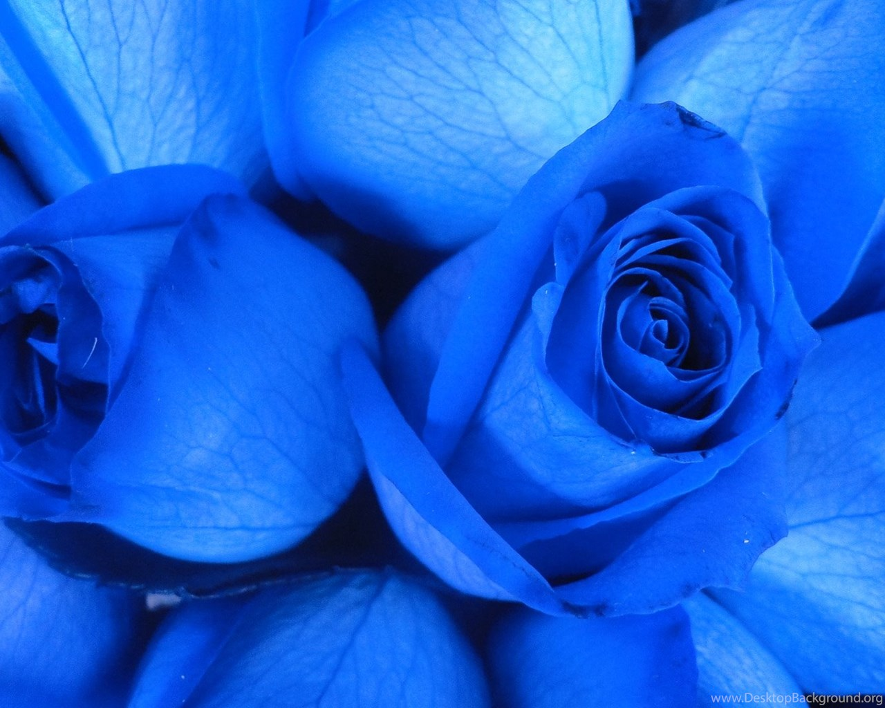 Blue rose wallpapers free download widescreen hd - Blue rose hd wallpaper download ...