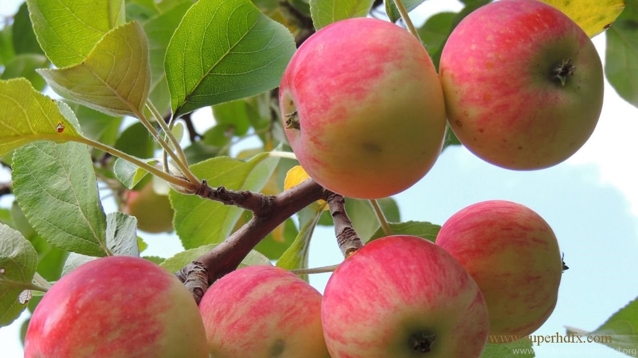 Apple Fruit Wallpaper HD Desktop Background