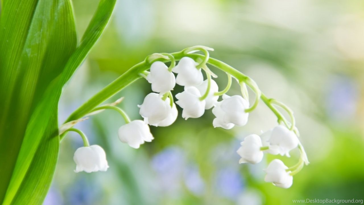 Lily Of The Valley Macro Hd Desktop Wallpapers High Definition