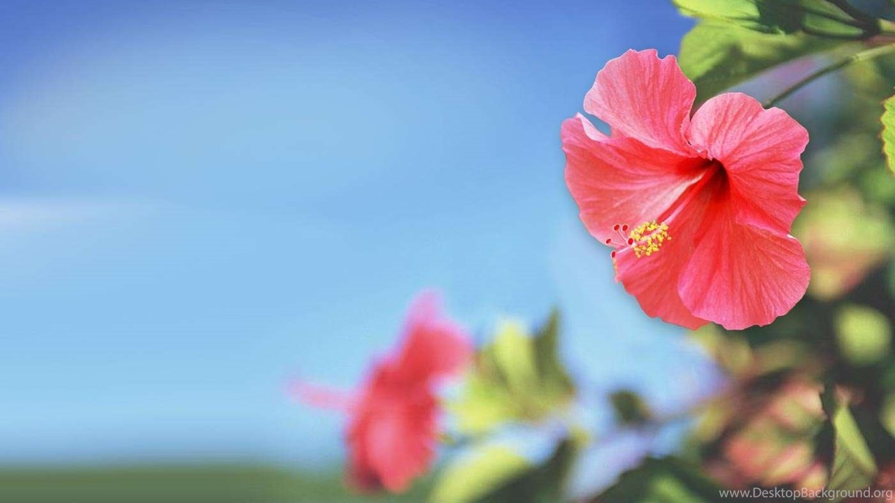 Awesome Red Hibiscus Flower Hd Wallpaper G Desktop Background