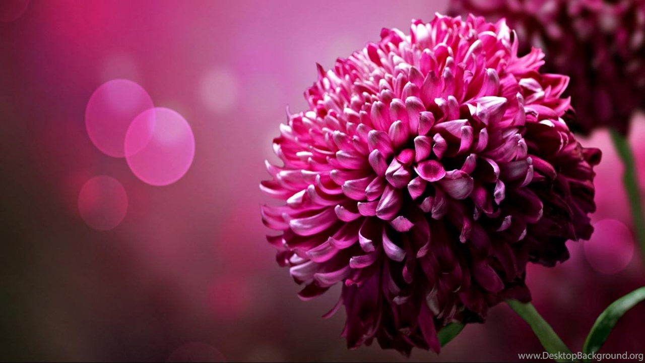Purple Chrysanthemum Flowers Desktop Wallpapers 1366x768 Widescreen