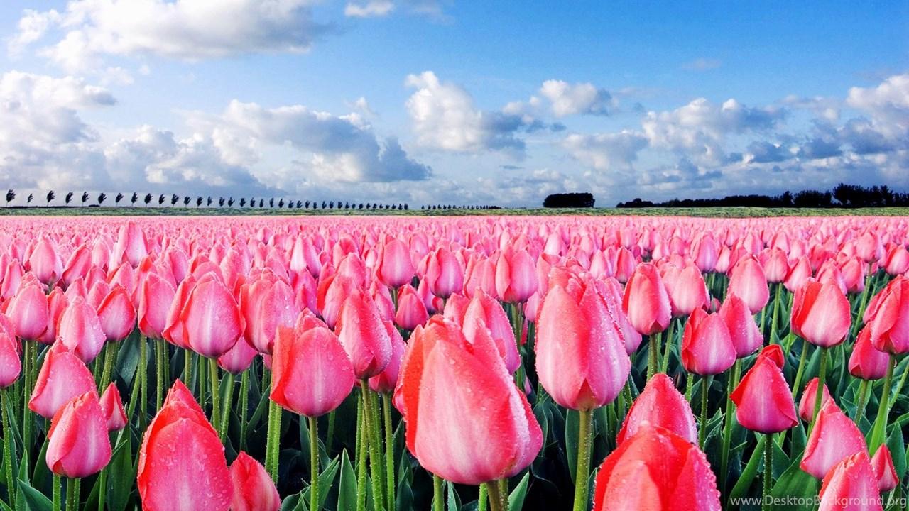 Кто сажал голландские тюльпаны 968