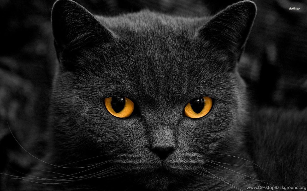 Black Cat Wallpapers Animal Wallpapers Desktop Background