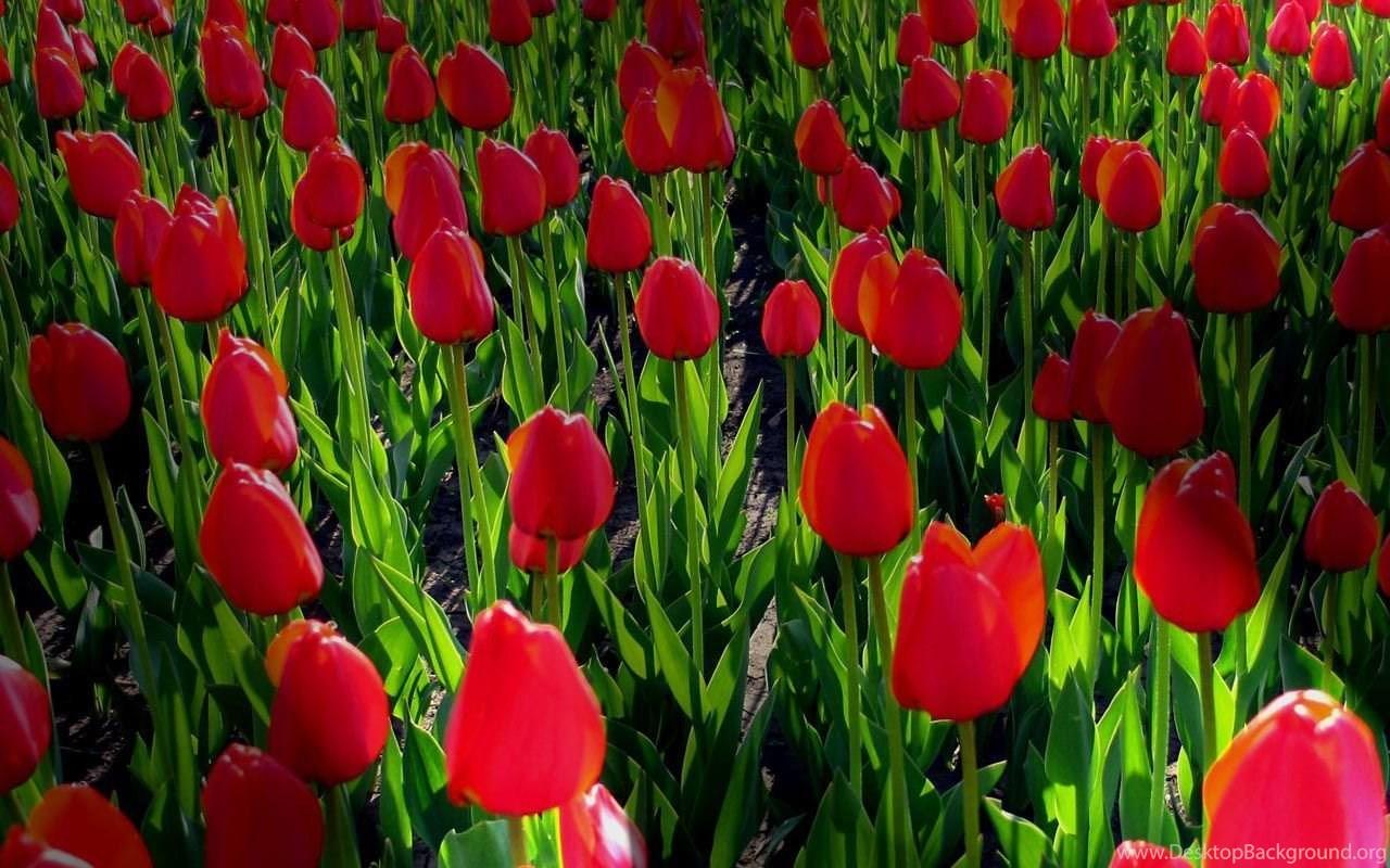 Free Desktop Wallpaper Backgrounds Spring Flowers Desktop Background