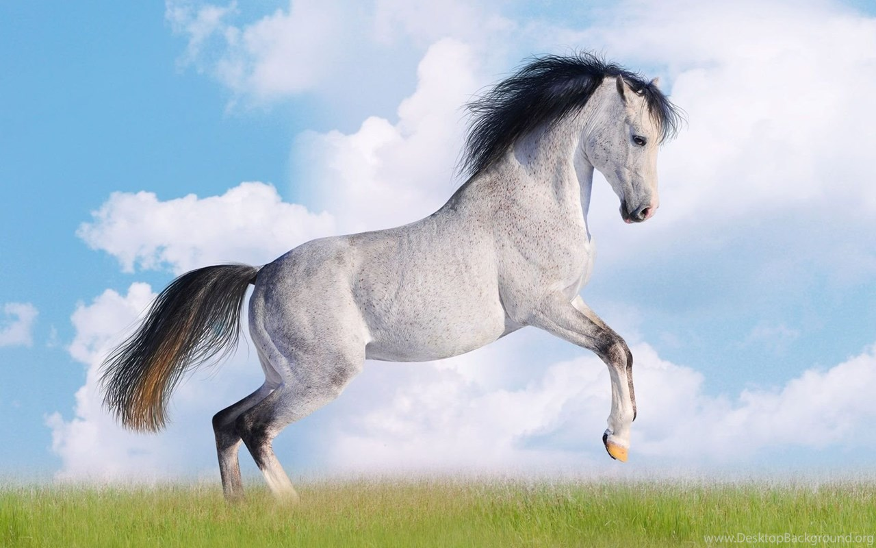 White andalusian horse wallpaper