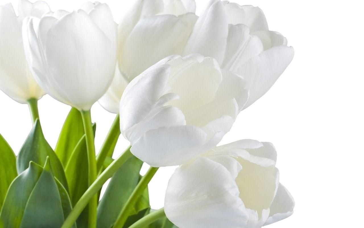 Открытка тюльпаны белые
