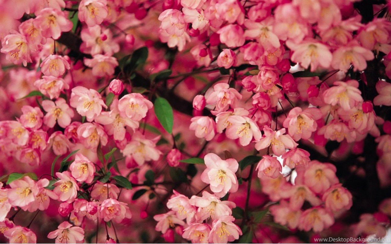 Flowers Spring Flowers Pink Nature Desktop Backgrounds Flowers