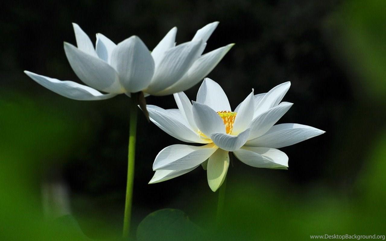 Joan Powder Jade White Lotus Flower Photography Wallpapers