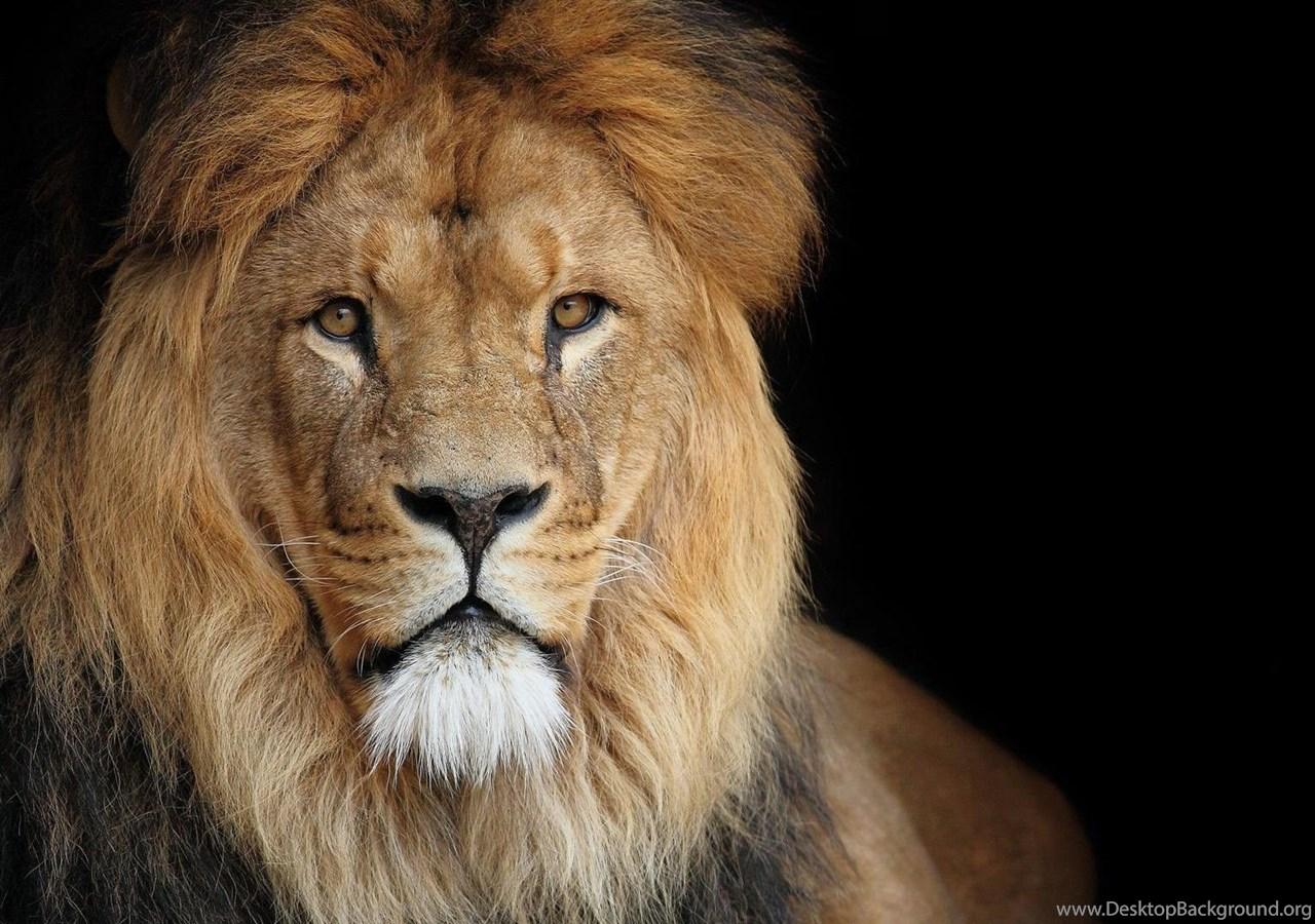 Lion Background Images 3194 Hd Wallpapers Site Desktop Background