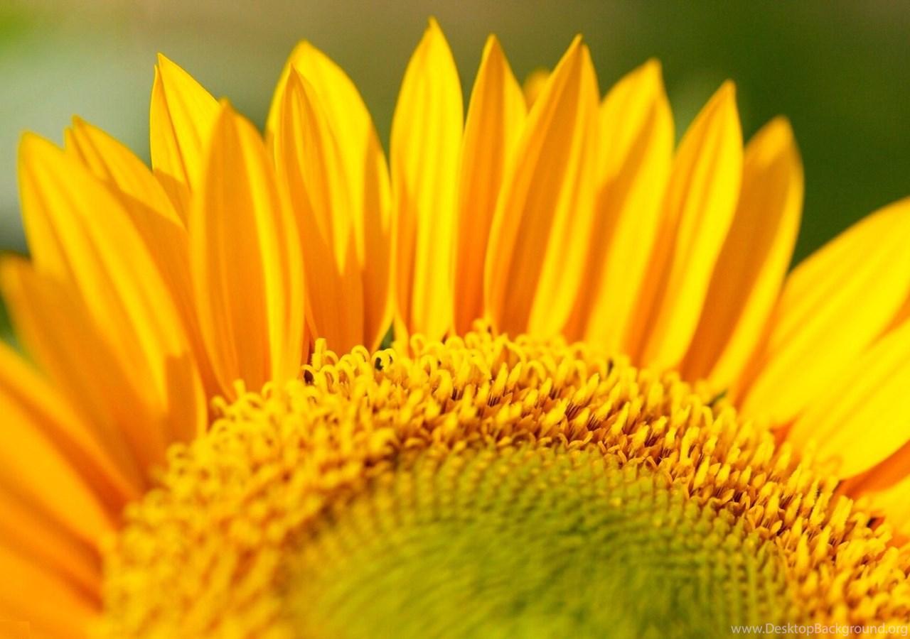 263479 big yellow sunflower flower wallpapers hd