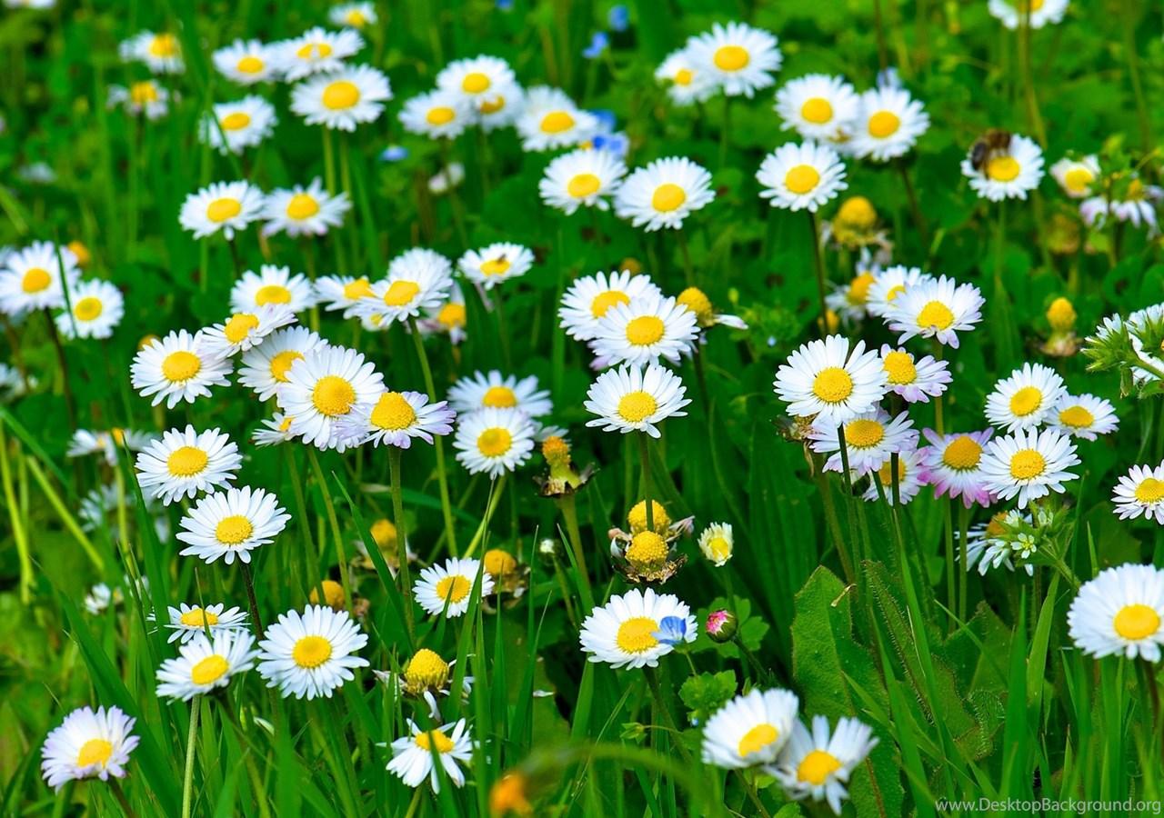 White Daisy Flowers Grass Leaves Green Wallpaperwhite Hd