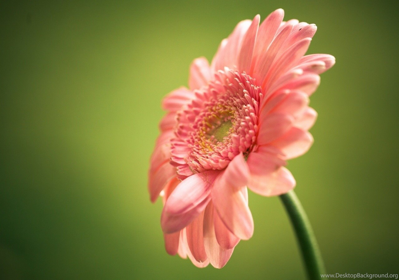Single Pink Flower Green Backgrund Hd Wallper Wallpapers Fresh Hd