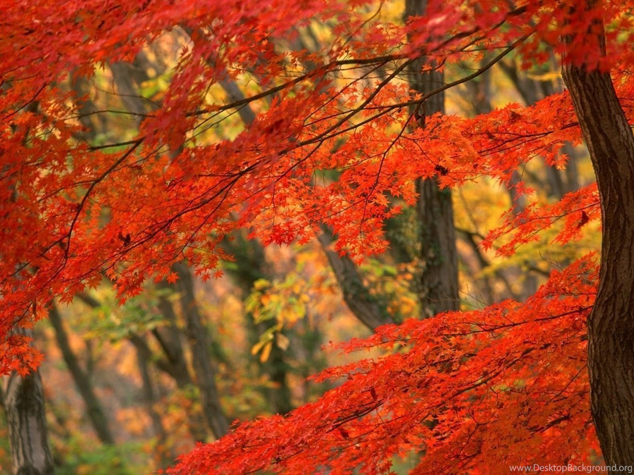 Pemandangan Autumn Leaves Wallpapers Desktop Background
