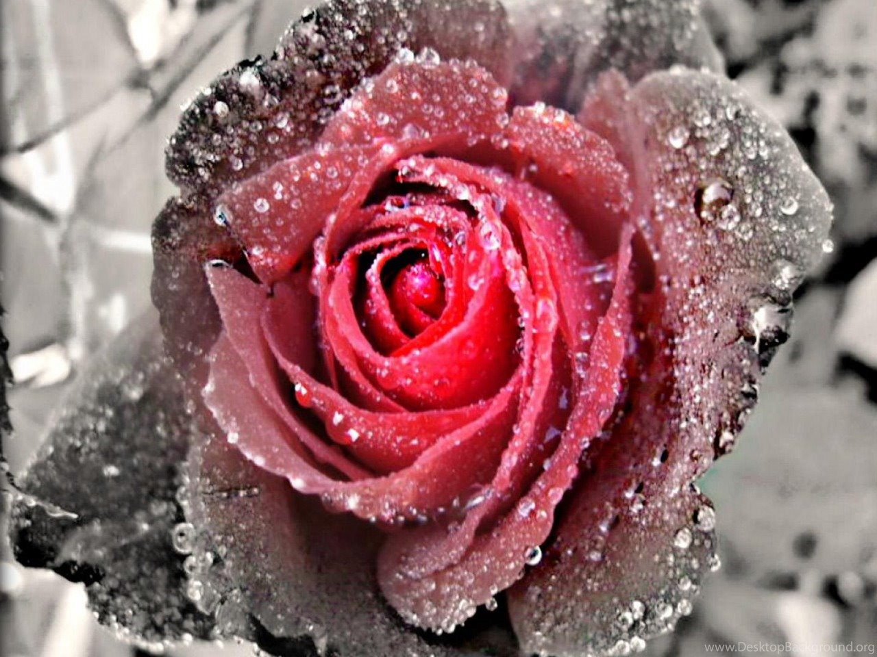 Black And White Rose Wallpapers Wallpapers Hd Base Desktop Background