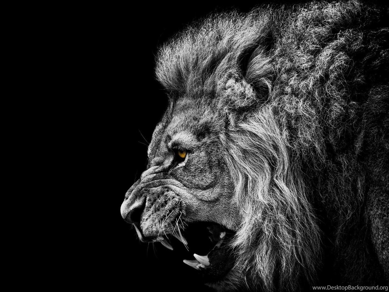 Lion wallpaper hd black and white