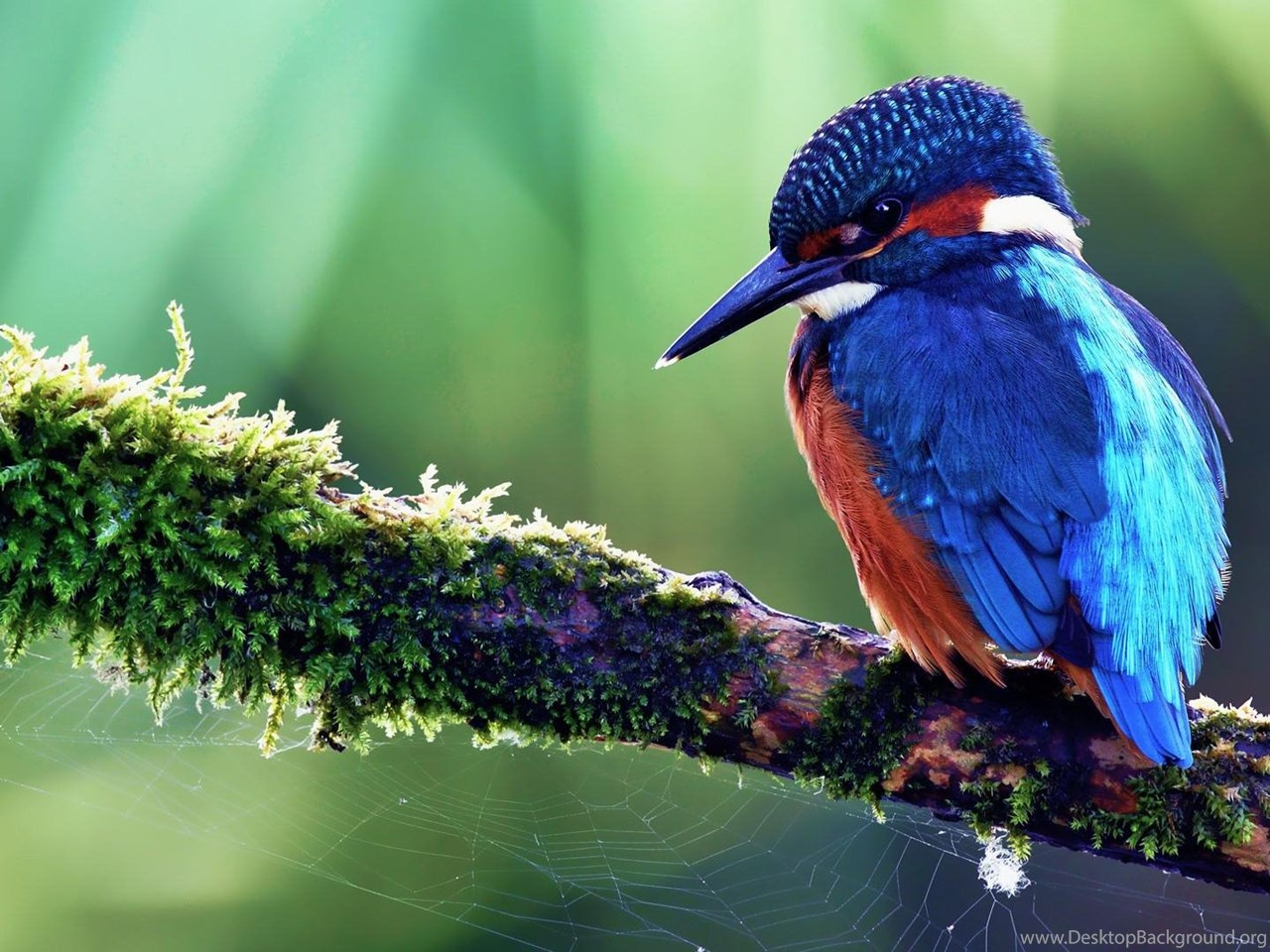 Blue bird of paradise wallpaper