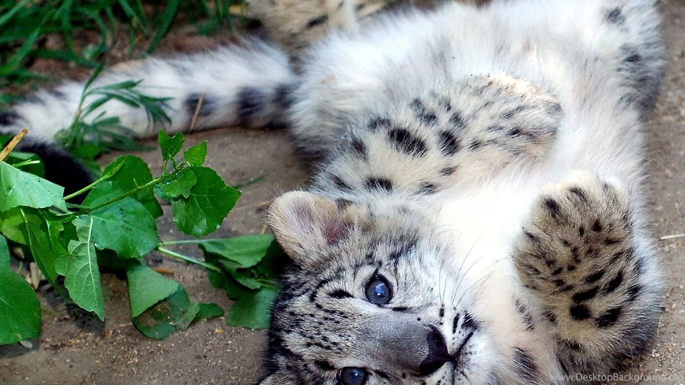 Anime Snow Leopard Wallpapers Desktop Background