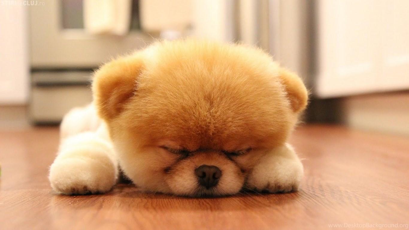 download sweet boo dog sleep wallpapers 1600x902 desktop background