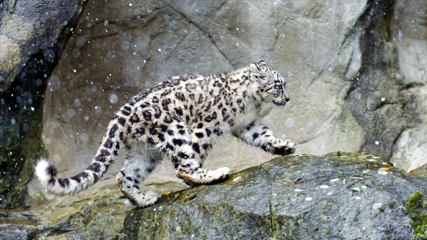 Snow Leopard Computer Wallpapers Desktop Backgrounds Background