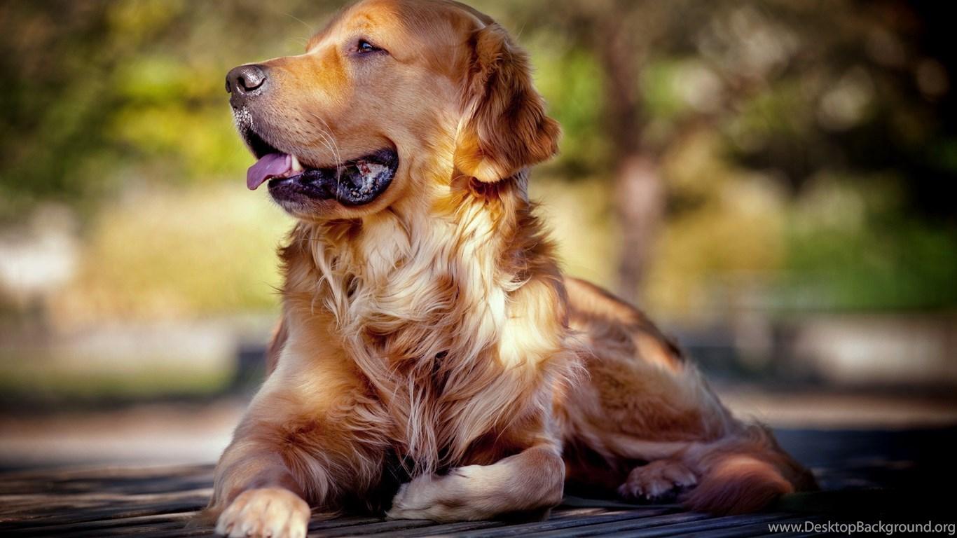Hd Images Of Golden Retriever Dogs Desktop Background