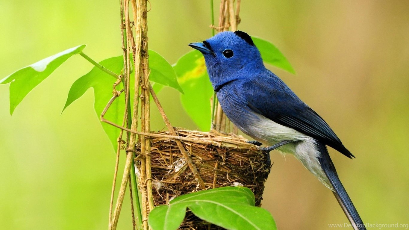 Free Bluebird Wallpaper For Desktop: Animals Birds Spring Animals Blue Bird Free Desktop
