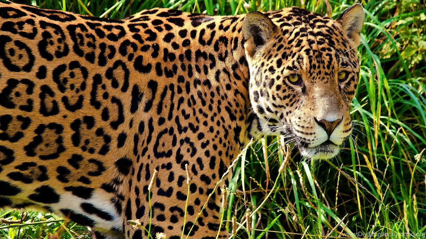 Jaguar animal hd wallpapers free download 1080p widescreen - Jaguar animal hd wallpapers ...
