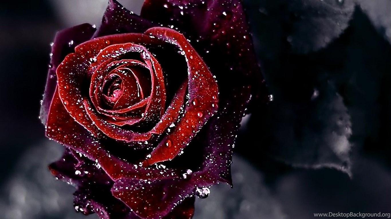 Black Rose HD Wallpapers Desktop Background