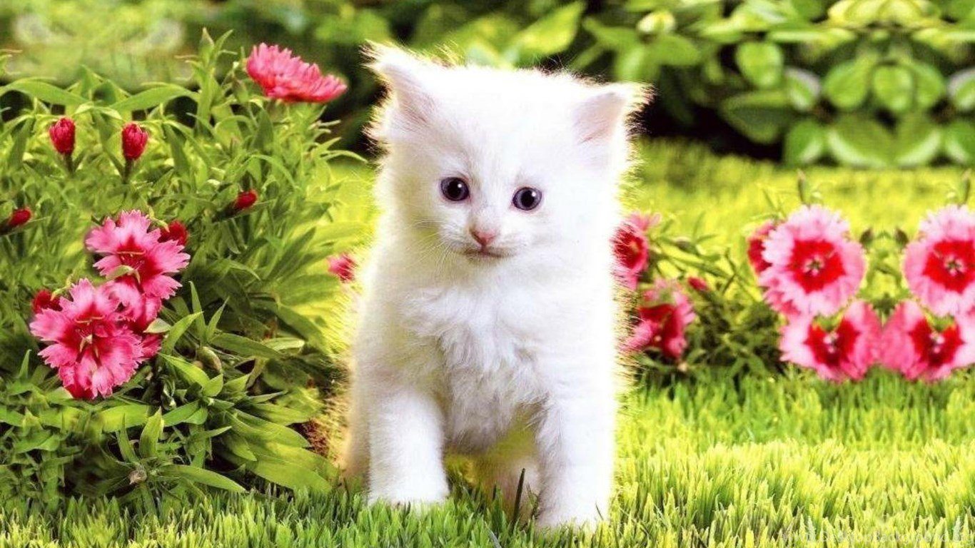 cute white kitten hd wallpapers desktop background