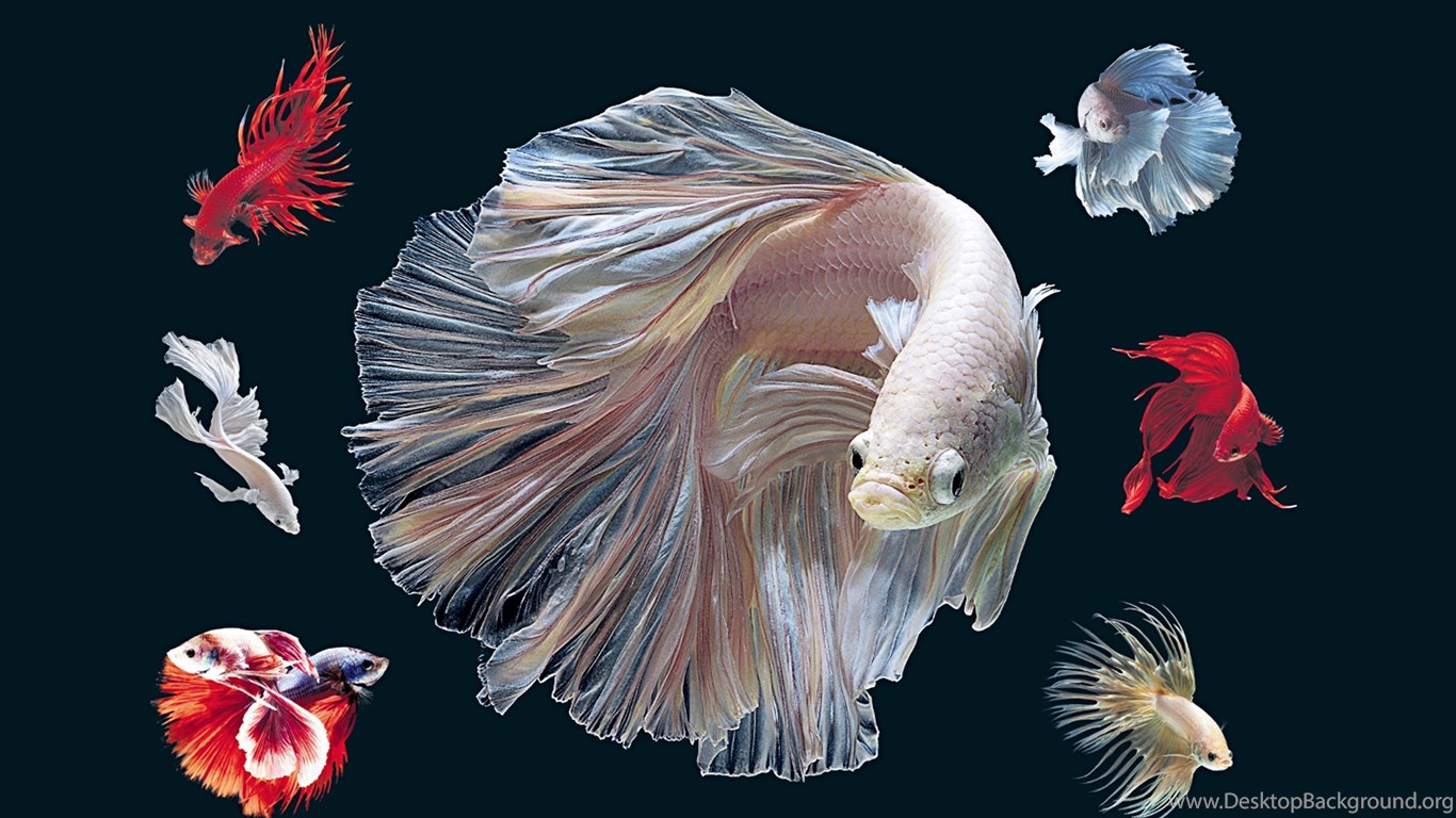 Hd Background Wallpaper 800x600: Betta Fish HD Wallpapers Desktop Background