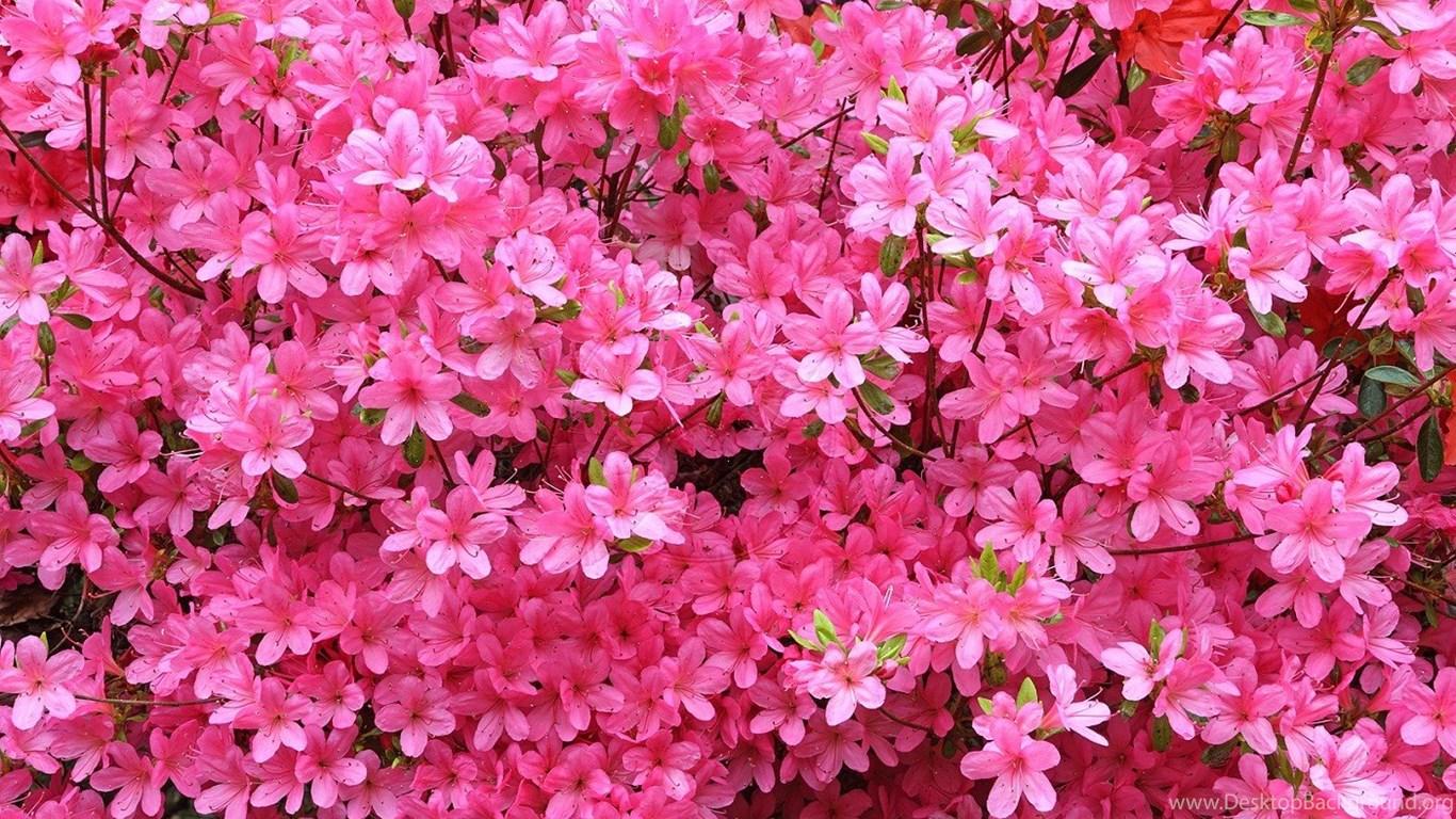 Pink azalea flowers desktop wallpapers desktop background 1366x768 360x640 mightylinksfo