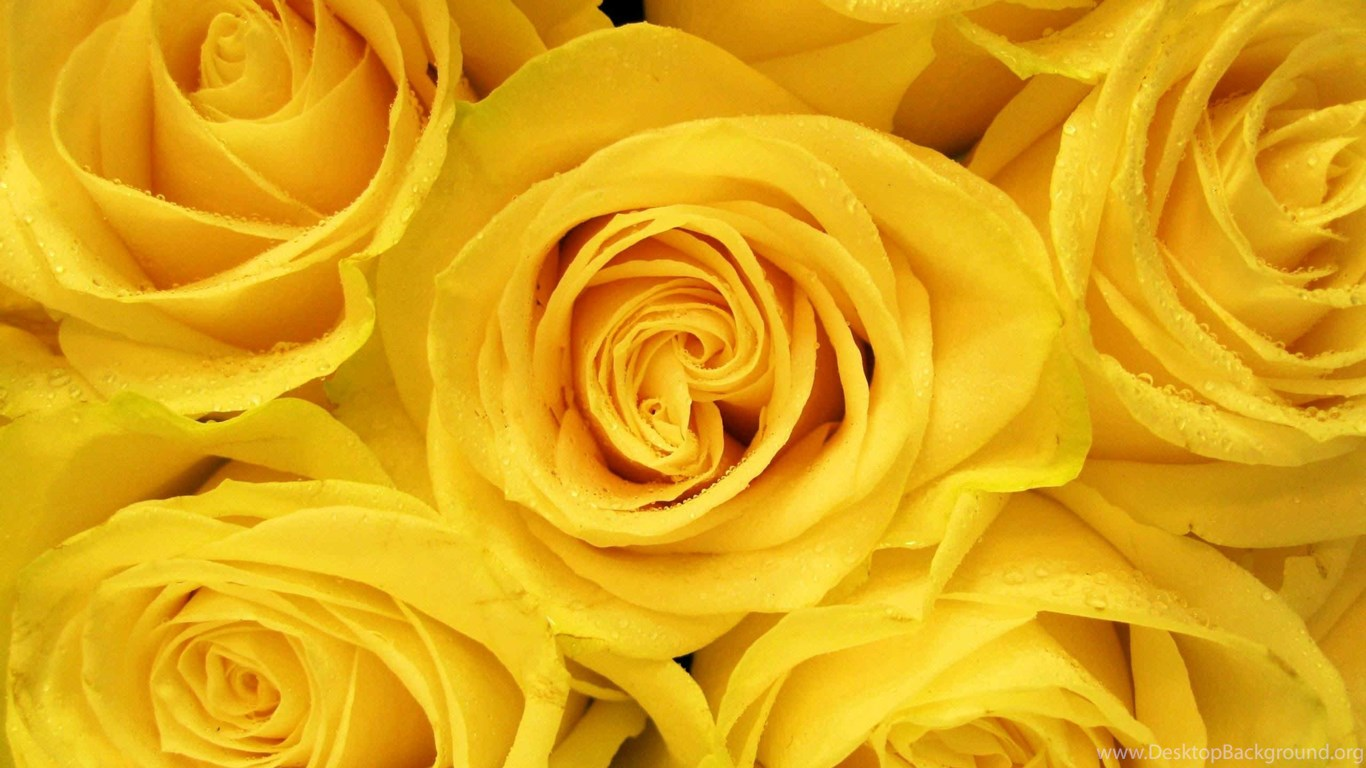 Yellow Roses Wallpapers Desktop Background