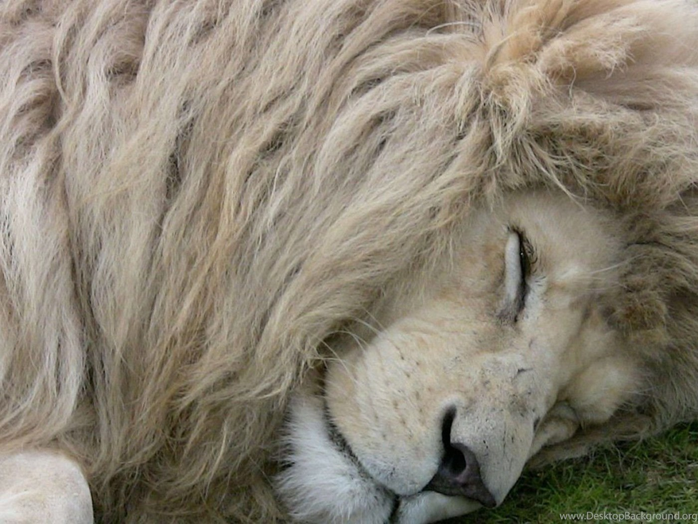 White lion pictures wallpaper