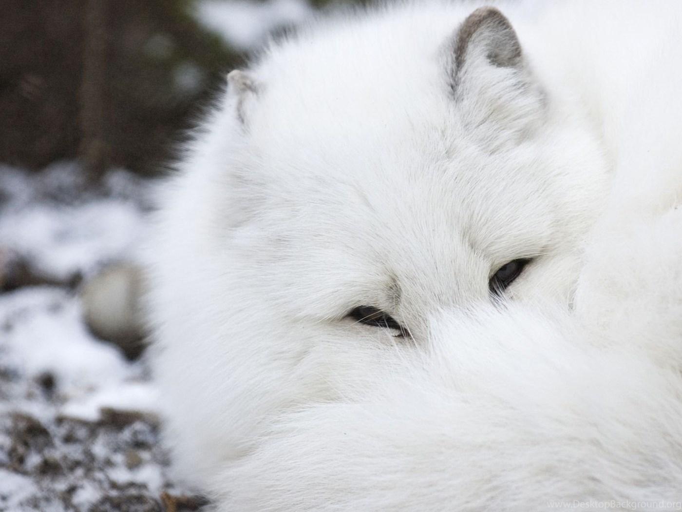 Arctic Fox Top Download Wallpapers Desktop Background