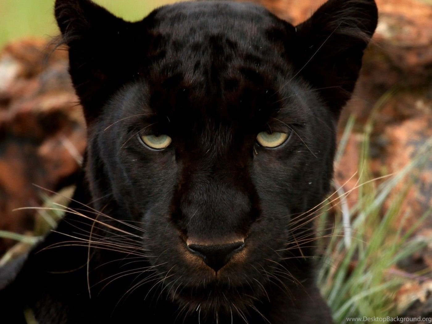 Black Panther Wallpapers Animal Wallpapers Desktop Background