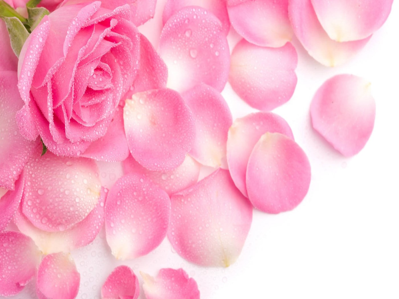 9 rose flower hd wallpapers beautiful pink flowers free desktop fullscreen mightylinksfo