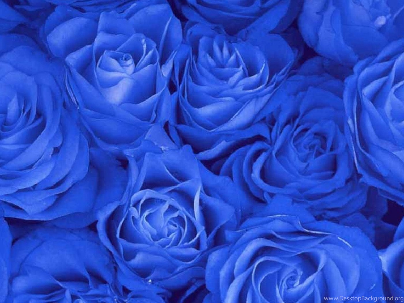 Blue Rose Wallpapers 18 Rose Flower Images Rose Pictures And