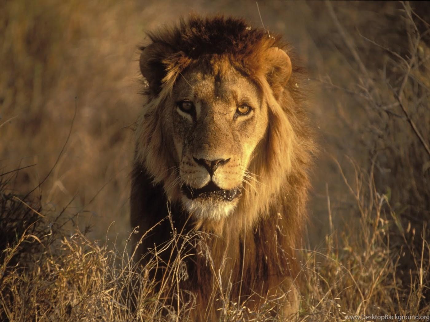 Roaring Lion Pics Wallpapers 3d Hd Pictures Desktop Background