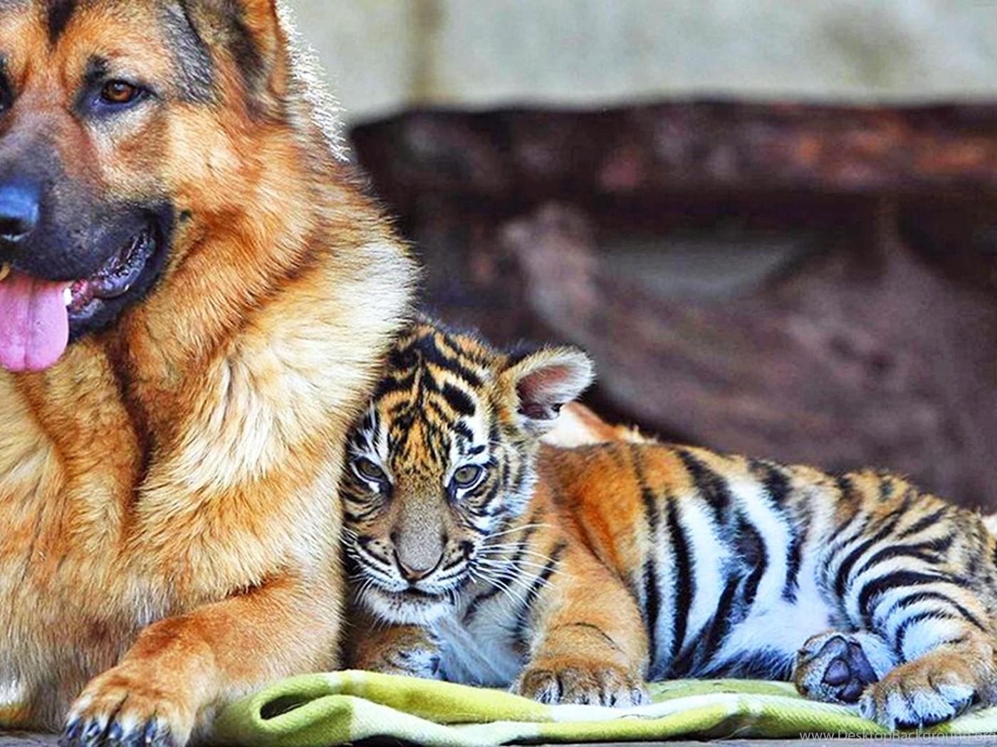 Baby Tiger Wallpapers Full Hd Animal Wallpapers Kokean Com Desktop